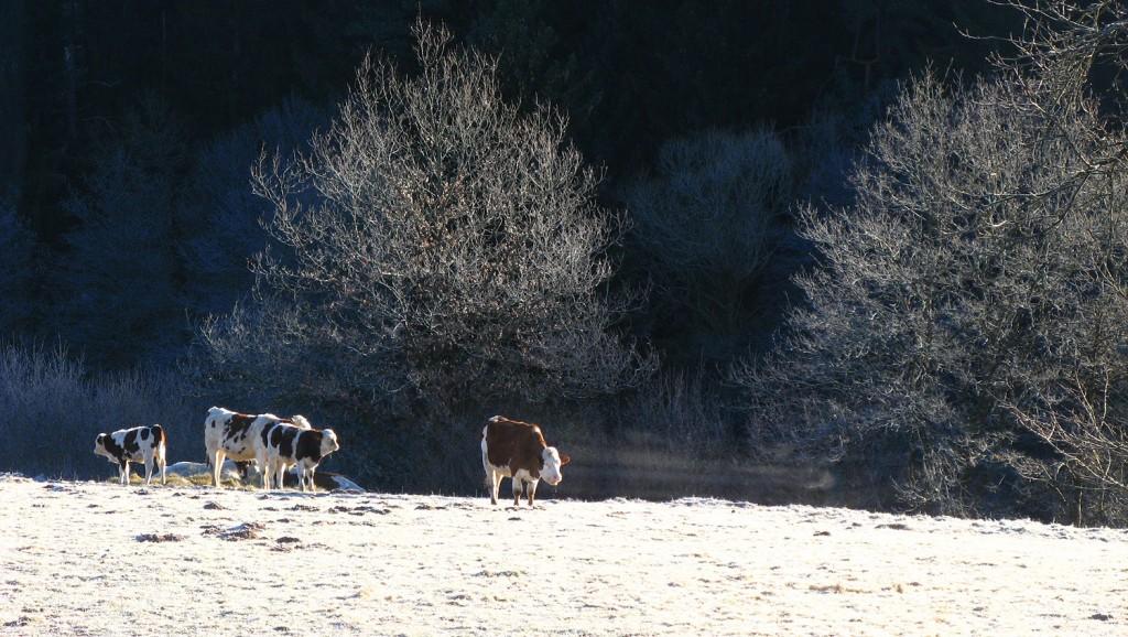 Vaches aux premiers givres